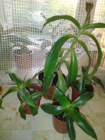 Золотий вус, калізія запашна, лікарська кімнатна рослина