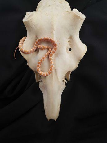 Wąż Preriowy Albino (Pantherophis emoryi) Samica