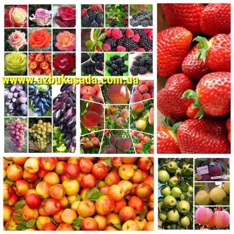 Питомник Азбука сада реализует саженцы яблони, нектарин, алыча,слива,