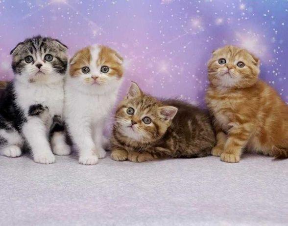Чистокровные породистые котята\вислоушки\прямоушки