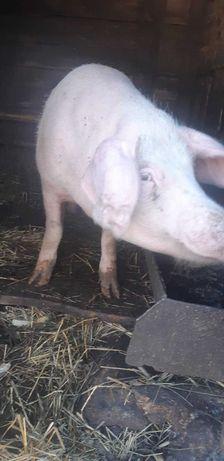 Продам свинью,  кабана