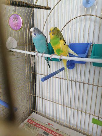 Пара попугаев около года