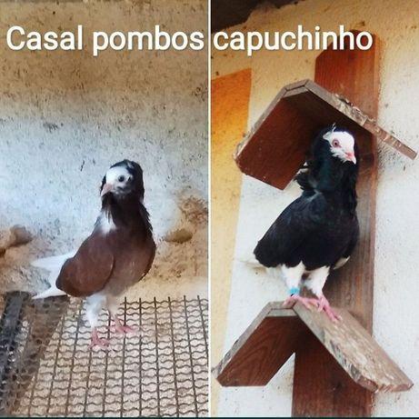 POMBOS: Arcanjo, Capuchinhos, Guiné, Leque,