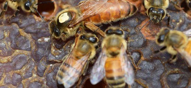 Малоройливые Пчелиные Матки порода Бакфаст первая репродукция