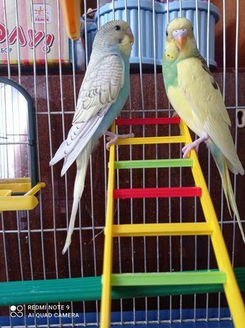 Папугаи Волнистые