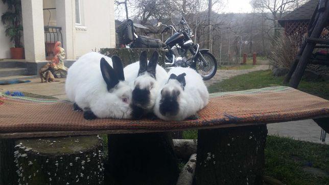 Продам кролі каліфорнія