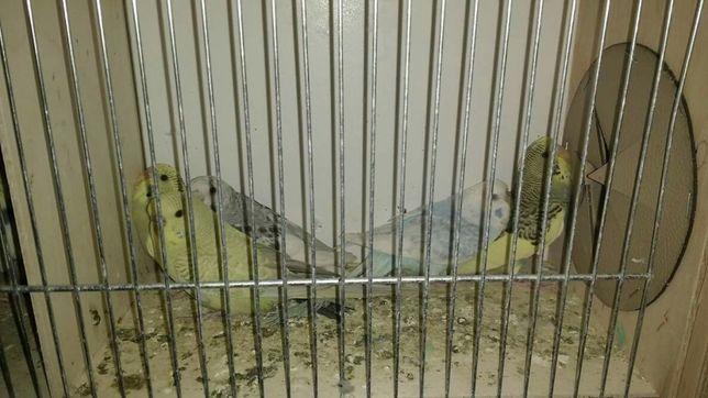 Papużki faliste młode