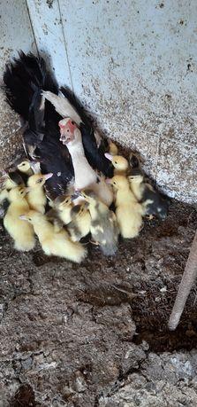 Patos da Quinta do Gil