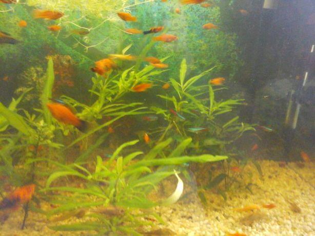 Mieczyki czerwone I BERLIŃSKIE[ok.2.5 CM] -10 ryb za 25 zł lub 6 -15zł