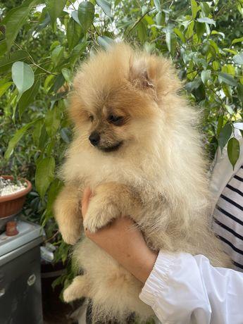 Pomeranian IDEALNY piesek BOO gotowy do odbioru
