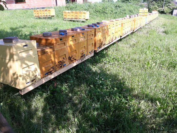 Odkłady pszczele ramka wlkp 2021r matki pszczele Buckfast, Elgon