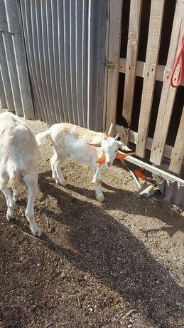 Cabra com filho de 2 meses so vendo os dois juntos