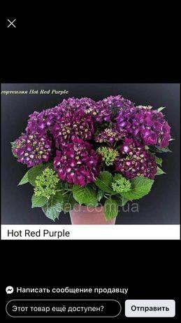 Гортензія  Macrophylla ф12 ціна 3.8євро мін.мін 25шт Якщо менше 50 шт