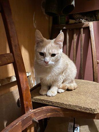 Отдам персикового котёнка ,мальчик ,8 месяцев ,кастрирован