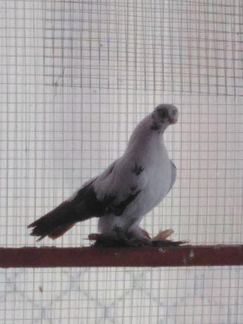 Gołębie ozdobne motyl warszawski czerwony samica 20r