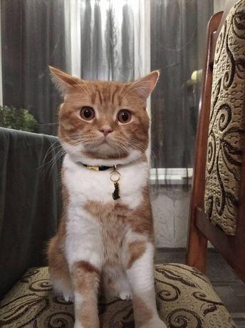 Шотландский прямоухий кот ищет невесту