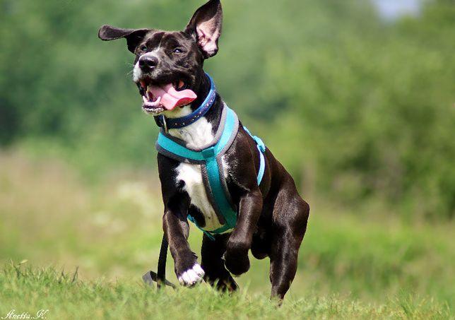 Ogi - roczny pies, mieszaniec amstaffa