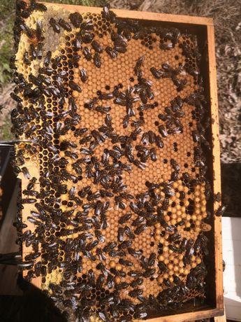 Enxame abelhas bem povoado .