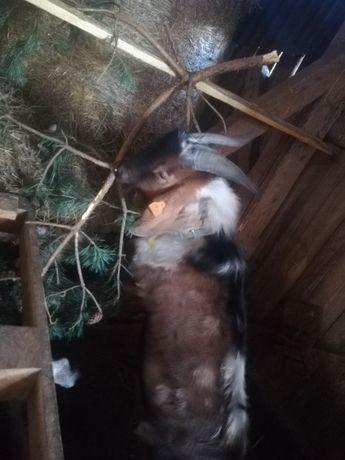 Kozioł anglonubijski, reproduktor