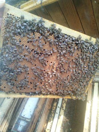 Пчелопакеты с доставкой