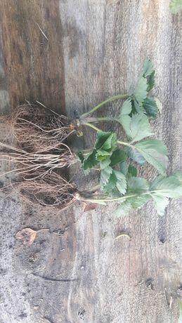 Sadzonki truskawek 35 groszy