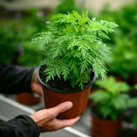 Artemisia Annua (Planta)