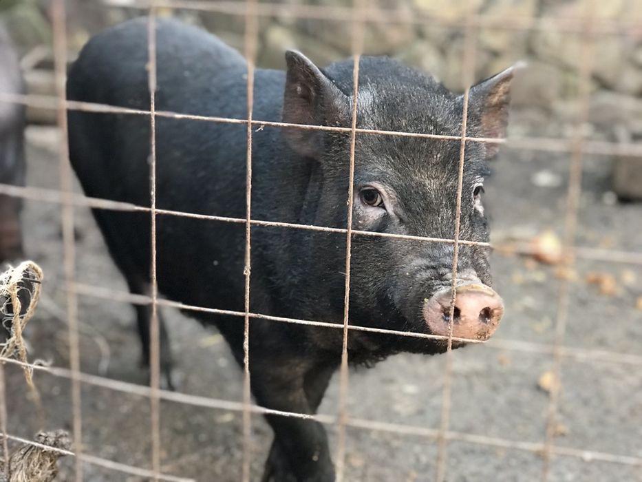 Вєтнамскі свині Балта - изображение 1