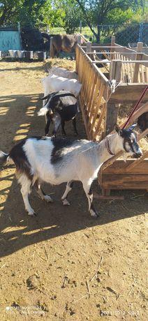 Продам альпийскую козу
