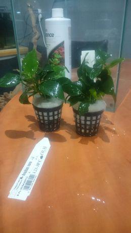 Roslina anubias nana