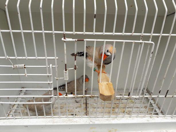 Vendo Aves mandarins