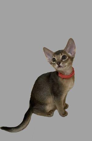 Абіссинська кішечка