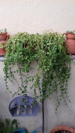 Crassula spathulata / Planta que trepa