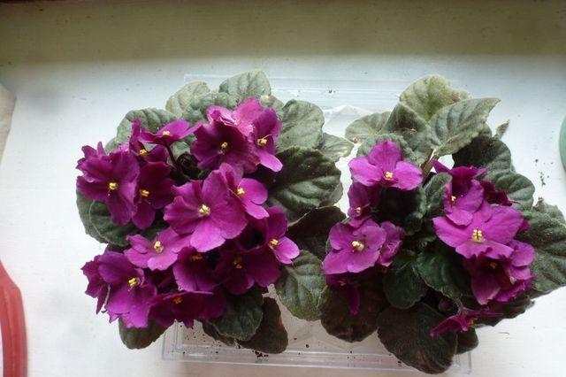 Fiołek alpejski o fioletowych kwiatach, kwitnące sadzonki w doniczce