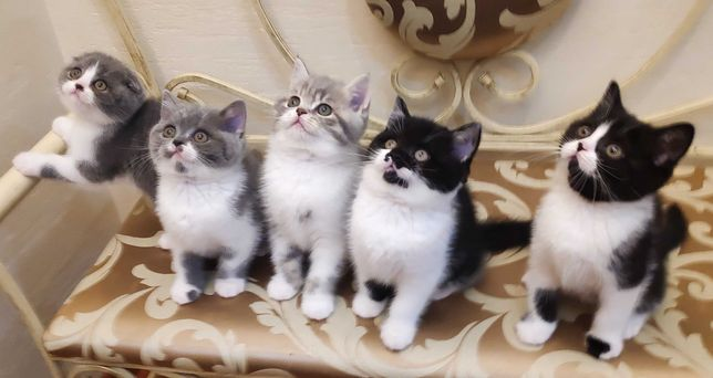 Котята шотландской породы от вязки с котом-чемпионом Одессы