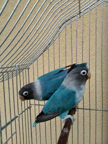 Папуги Нерозлучники маскові