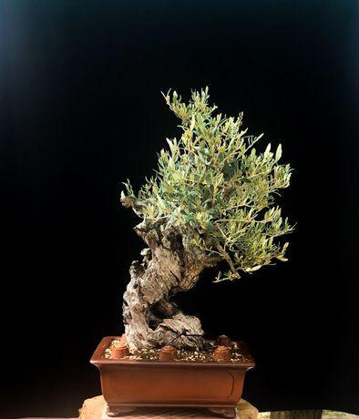 Olea Europaea (Bonsai Pre Bonsai)