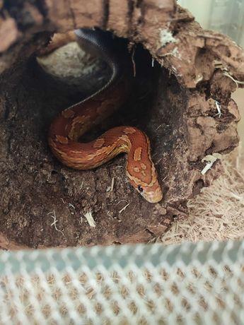 Wąż zbożowy Nominal