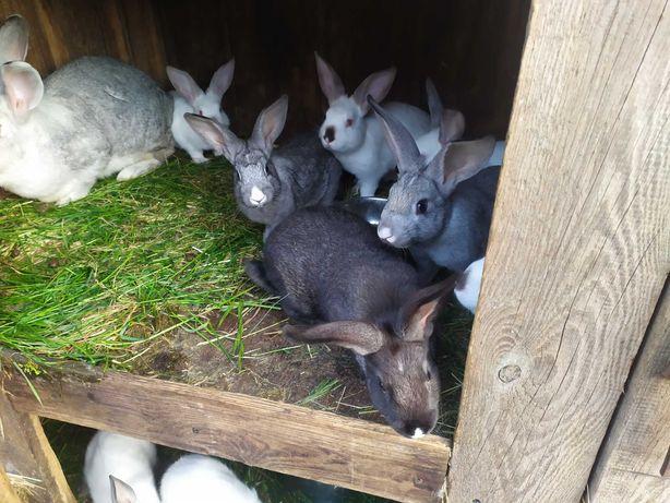 królik Tuszki z królika