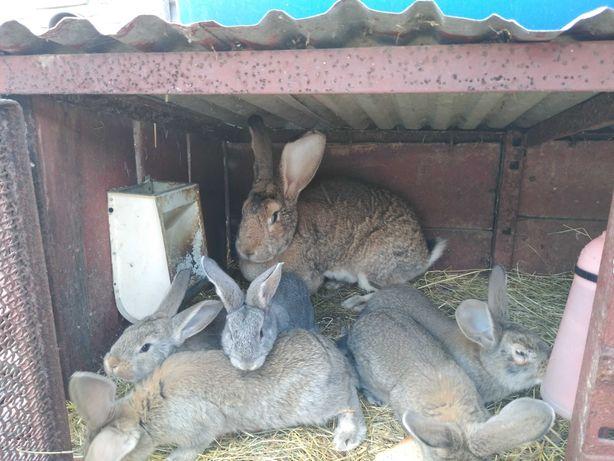 Sprzedam młode króliki  i dorosłą samicę BOS olbrzymy belgijskie szare