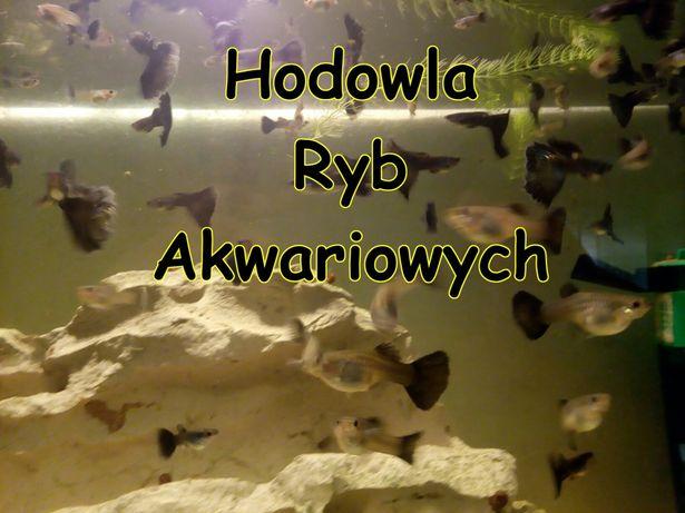 Gupik moskiewski atramentowy (domowa hodowla ryb akwariowych). GRATISY