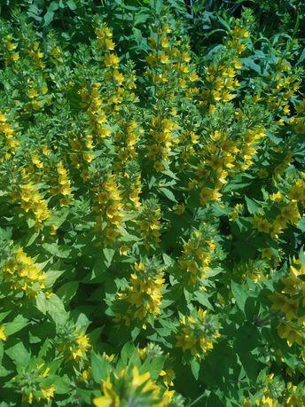 Квіти садові.Від 25 грн
