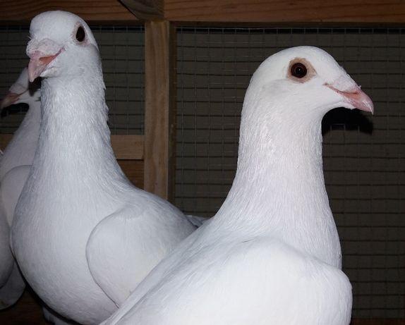 Ptaki gołębie białe pocztowe młode 2021 r. Dostępne OKOŁO 20 SZT