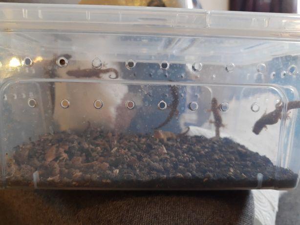 7 dorosłych gekonów płaczących