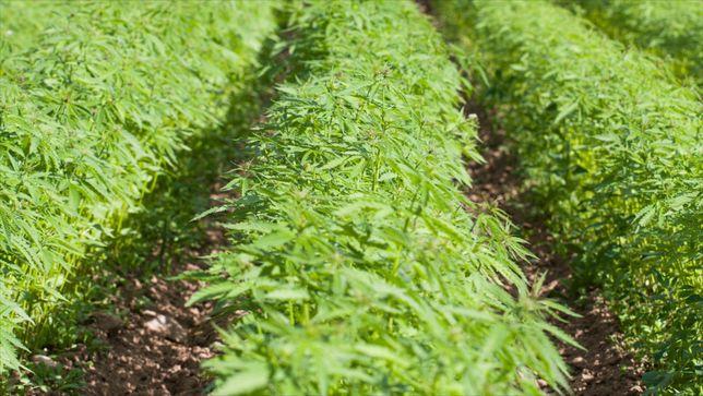 CBG Santhica 27 i 70 nasiona konopi certyfikat kontraktacja włóknista