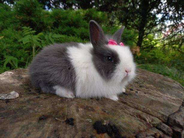 A1 króliczek TEDDY KARZEŁEK mini lop NIEBIESKI wyprawka odbiór jużdziś