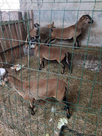 Sprzedam owce kamerunskie
