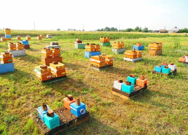 Матка (бджоломатка) Карпатка Труженица. Плодная