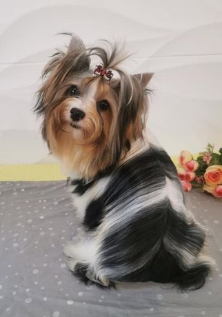 Бивер-йоркширский терьер- щенки