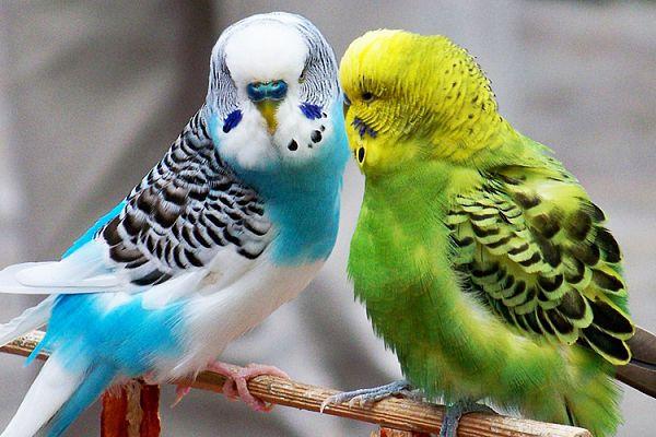 попугаи. волнисты. кореллы