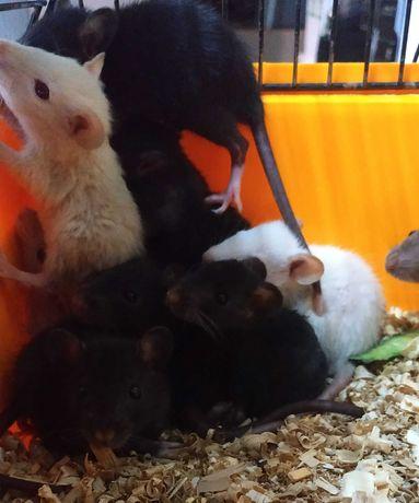 Крыски мальчики и девочки